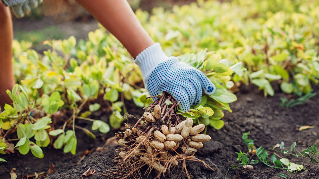 Photo of a person planting peanuts