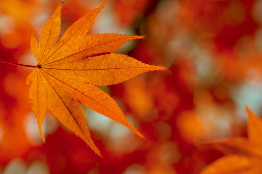 Photo of a colorful fall leaf